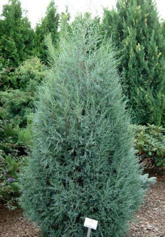 Skuju koki un krūmi Jūsu dārzam - Stādu placis Valmiera