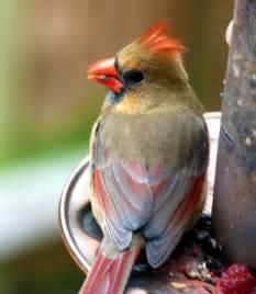 Baby Cardinal Bird