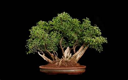 Bonsai Tree Background Trees Leaves Plants Wallpapers