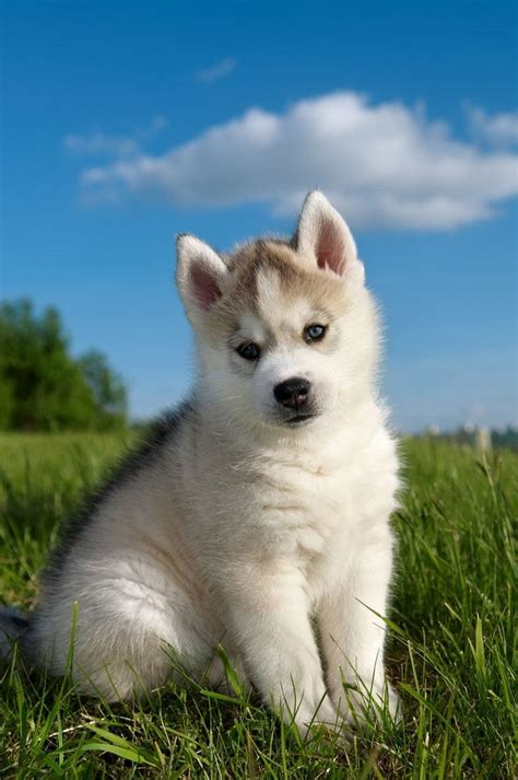siberian husky names  unique male female huskies