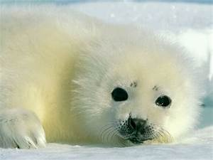 Seal | Animal Wildlife
