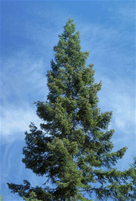 abies grandis grand fir giant fir lowland white fir pfaf