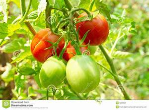 Red And Green Tomatoes On The Bush. Stock Images - Image ...