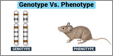 Genotype And Phenotype-introduction, Its Differences And Examples