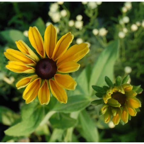 indian summer pflanze sonnenhut gro 223 blumig rudbeckia hirta indian summer kr 228 uterei bio pflanzenversand bio
