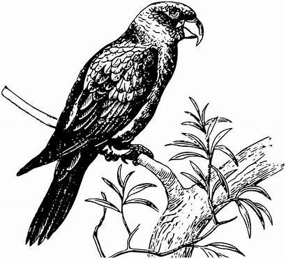Parrot Clipart Bird Animal Vector Birds Pixabay