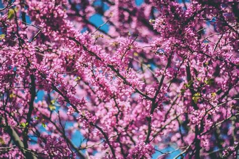 Bloom blossom branch bud cherry color flora floral Free
