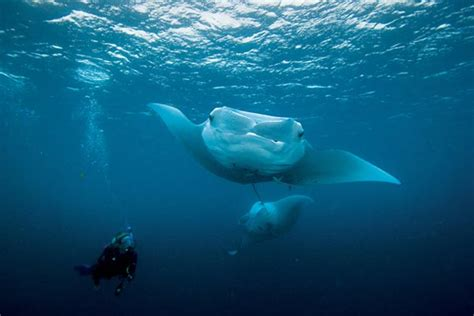 Top 5 Places to Scuba Dive with Manta Rays