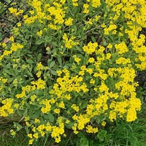 Blühende Pflanzen Winterhart : gelb bl hende pflanzen und blumen bestimmen ~ Michelbontemps.com Haus und Dekorationen