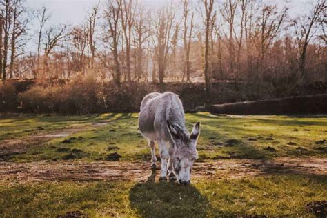 potential donkey health challenges  open sanctuary
