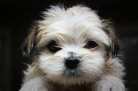 Maltese Shihtzu Puppy After First Bath Flickr P O