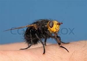 Fliegen Abwehren Draußen : gro e schwarze fliege mit einem gelben kopf tachina ~ Michelbontemps.com Haus und Dekorationen