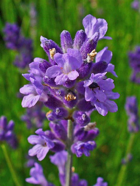 Bilder Mit Lavendel by File Lavandula Angustifolia 003 Jpg