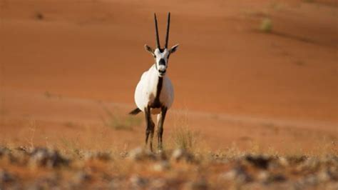 Types Of Animals In The Arabian Desert  Qatar Living