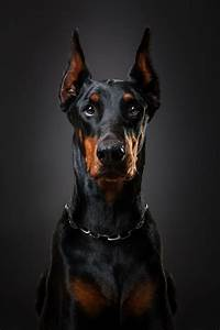 Doberman Orpheus+by+Lényfotó+pet+photography+on+500px ...