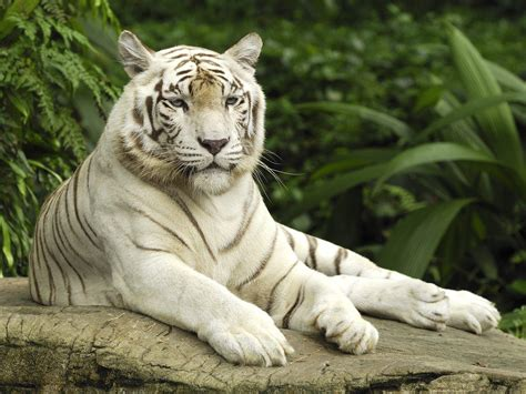 Free White Tiger Wallpapers Wallpaper Cave