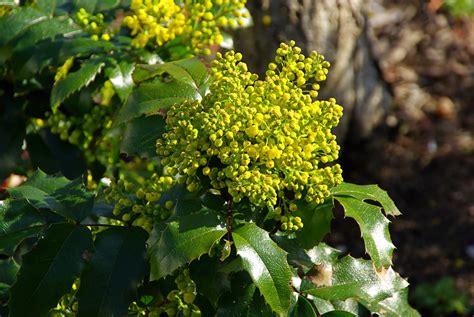 Anspruchslose Garten Pflanzen anspruchslose mahonie pflanzen gartenpflanzen garten