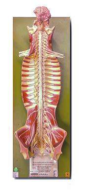 human nervous system model spinal sally college