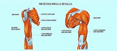 Spalla Muscoli Anatomia Della Bicipite Tricipite Legamenti