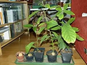 Avocado Pflanze Pflege : avocado und kakao artverwandte pflanzen botanik ~ Lizthompson.info Haus und Dekorationen