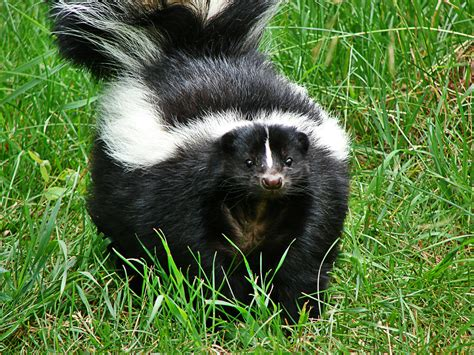 Skunk Removal Anytime Wildlife Removal