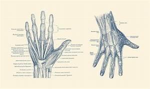 Human Hand Anatomy - Dual View