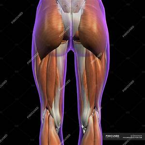 Posterior View Of Female Hip And Leg Muscles On Black