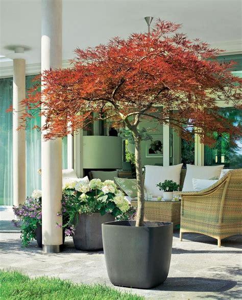 Mini Bäume Winterhart by 25 Bezaubernde Ahorn Baum Ideen Auf B 228 Ume