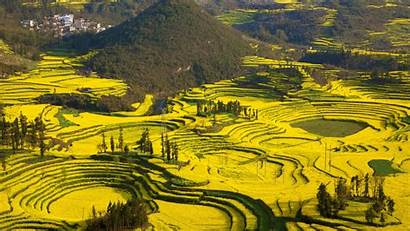 China Luoping Yunnan Fields Canola Flowers Yellow