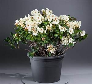 Kleinwüchsige Immergrüne Hecke : rhododendron flava rhododendron yakushimanum flava ~ Lizthompson.info Haus und Dekorationen