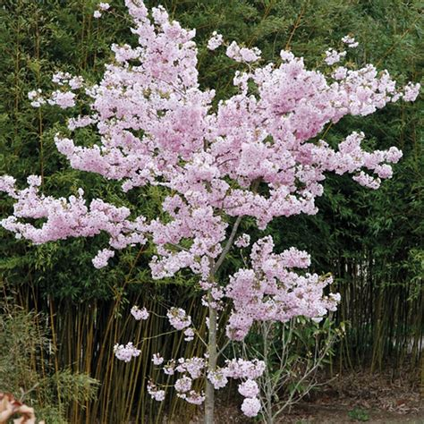 flowering japanese cherry japanese flowering cherry plants trees flowers pinterest