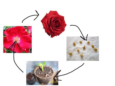 Diagram Rose World Reference