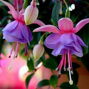 10 types Rare Flower Seeds Colorful Lantern Fuchsia Bell