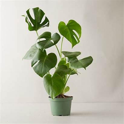 Plant Terrain Monstera Deliciosa Plants Delivery Services