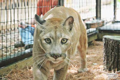 wild cat encounter north georgia zoo petting farm