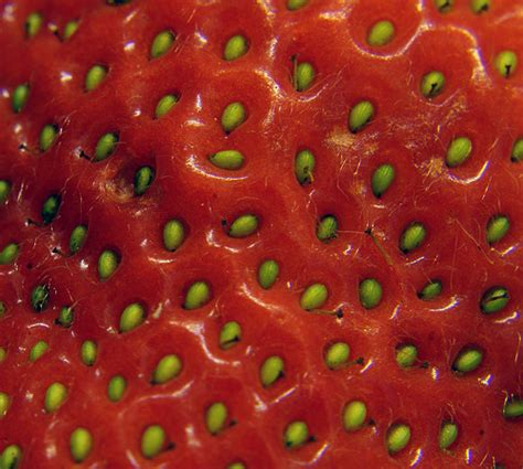 strawberry seeds how to grow strawberry seeds garden guides