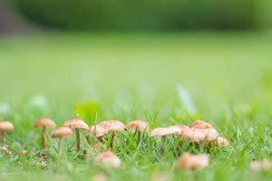 Braune Pilze Im Garten Bilder by Pilze Im Rasen Entfernen