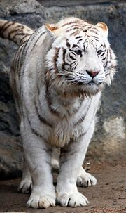 Lookout, Here I Come | White tiger, Tiger, Wild cats