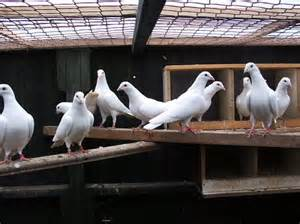 Pure White Dove Bird