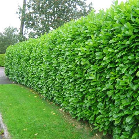 most artificial tree canada which hedge hedging plants explained evergreenhedging com