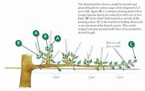 Espalier Fruit Trees Pruning Advice