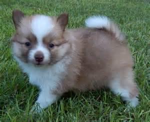 Pomeranian Husky Mix Dog