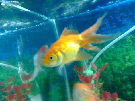indian aquarium fishes