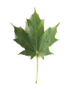 Green Mountain Sugar Maple Leaf