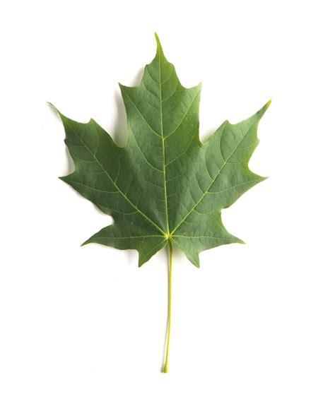 maple leaf green mountain 174 sugar maple