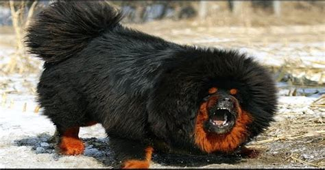 Top 10 Worlds Most Expensive Dog Breeds For 2019 The Dog