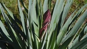 Meerrettich Blüht Was Tun : yucca recurvifolia x karlsruhensis beginnt zu bl hen ~ Lizthompson.info Haus und Dekorationen