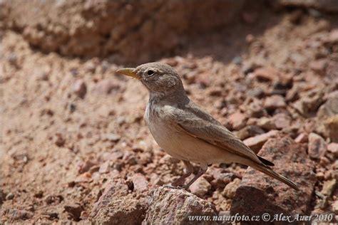 Ammomanes deserti Pictures, Desert Lark Images, Nature Wildlife Photos   NaturePhoto