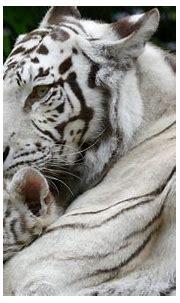White Tiger HD Wallpaper | Background Image | 3000x1840 ...