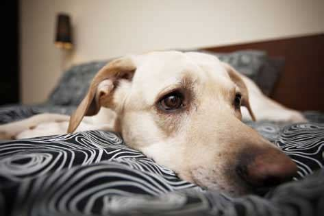 dog depressed treating depression  dogs petmd